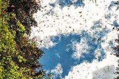 Monarkfjärilar som ankommer på Michoacan, Mexico arkivbilder