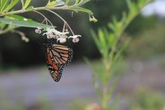 Monarkfjärilen eller monarken är enkelt en milkweedfjäril i familjnymphalidaen royaltyfria bilder