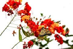 Monarkfjärilen med pollen på stolthet av Barbados blommar Royaltyfri Bild