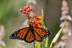 Monarkfjäril på blomma Royaltyfria Foton