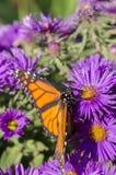 Monarkfjärilen på rugge av den purpurfärgade aster blommar Arkivfoto