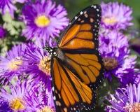 Monarkfjärilen på rugge av purpurfärgade asterblommor, vingar fördelade Arkivbild