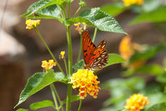 Monarkfjärilssammanträde på Lantana Royaltyfri Bild