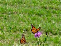 Monarkfj?ril som s?tta sig p? en purpurf?rgad blomma arkivbild