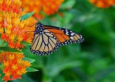 Monarkfjäril på milkweed Fotografering för Bildbyråer