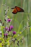 Monarkvåg i flykten Arkivfoto