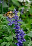 Monarque BUtterlfy - plexippus de Danaus - et farinacea de Salvia Images libres de droits