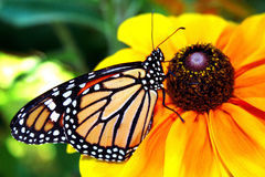 Monarque Butterly Photo libre de droits