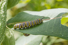 Monarque Caterpillar Photographie stock libre de droits
