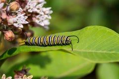 Monarque Caterpillar Photos stock