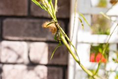 Monarque Caterpillar sur une branche dans le jardin photos libres de droits