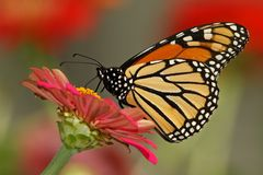 Monarque de jardin Photographie stock