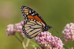 Monarque et milkweed Photographie stock libre de droits