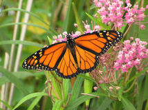 Monarque sur le Milkweed Photo stock