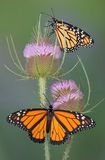 Monarques sur la cardère Photo libre de droits