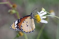 Monash butterfly and flower Royalty Free Stock Images