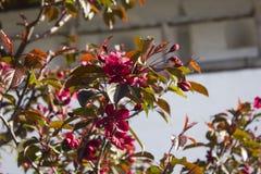 Árbol floreciente en primavera Fotos de archivo libres de regalías