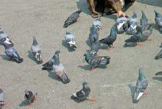 Monastero di Fed Grain At The Rumtek dei piccioni, Sikkim, India Immagini Stock Libere da Diritti