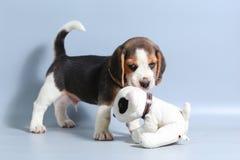 1-monatiger reiner Zuchtspürhund Welpe Lizenzfreie Stockfotografie