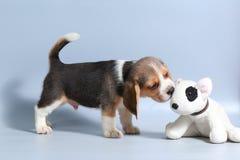 1-monatiger reiner Zuchtspürhund Welpe Lizenzfreie Stockbilder