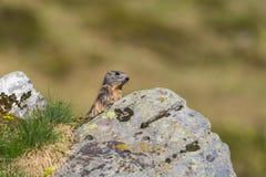 Monax alpino del Marmota della marmotta che sta dietro la roccia in grassla Fotografie Stock