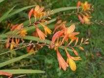 Monbretia flowers in a Lancashire Garden. Their bright orange flowers brighten the borders in an English Garden royalty free stock photo