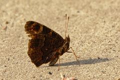 Monochrome brown butterfly sitting in the sand, selective focus. Brown butterfly with long antenna& x27;s sitting still in the sand with closed wings royalty free stock photography
