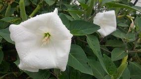 Mond-Blumen Lizenzfreies Stockbild