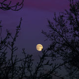 Mond, der über Bäume im purpurroten Himmel steigt Stockbild