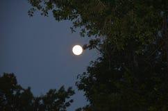 Mond, der durch Bäume glüht Lizenzfreie Stockfotografie