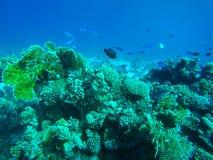 Mond-Fusilier und schwarze Damselfish-Schwimmen um Rotes Meer Cora stockfoto