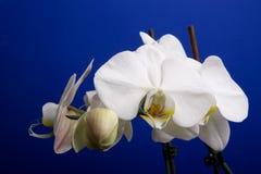 Mond-Orchidee stockbilder