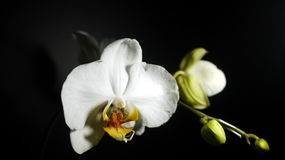 Mond-Orchideen Lizenzfreie Stockfotografie