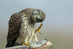The Monday morning Kestrel... stock photos