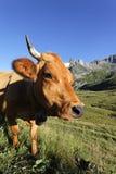 Monde de vache Image libre de droits