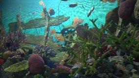 Monde sous-marin dans l'aquarium Espèce marine en eau salée Bain de poissons entre les coraux banque de vidéos