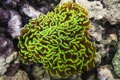 Mondelinge groen  van Euphylliaparaancora Ñ Royalty-vrije Stock Afbeelding