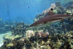 Mondelinge Sharkc Stock Foto's