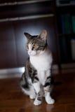 Mondo bianco dell'animale domestico del ritratto del gatto di Gray Black Female Young a casa immagini stock