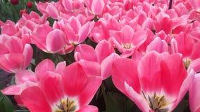 Mondo dei tulipani Immagine Stock