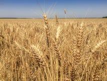 Mondo dell'alimento di agricoltura del frumento Fotografia Stock