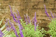 Mondo Grass púrpura Imagenes de archivo