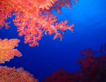Mondo subacqueo in acqua profonda nella flora dei fiori delle piante e della barriera corallina nella fauna selvatica marina del  fotografia stock