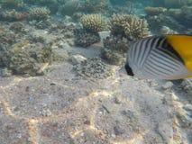 Mondo subacqueo del Mar Rosso nell'Egitto Fotografia Stock Libera da Diritti