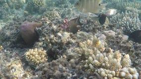 Mondo subacqueo del Mar Rosso nell'Egitto video d archivio
