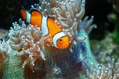 Mondo subacqueo meraviglioso e bello con i coralli e il tropica Immagine Stock