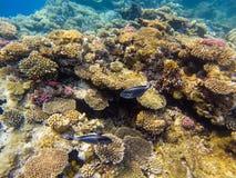 Mondo subacqueo Pesci di corallo del Mar Rosso Egypt fotografia stock