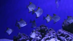 Mondo subacqueo Pesci di corallo del Mar Rosso Egypt archivi video