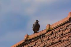 Monedula Coloeus галки на крыше с голубым небом как backgr Стоковые Изображения RF