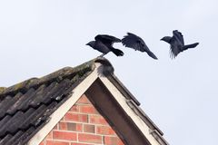 Monedula Corvus галки Стоковые Изображения RF